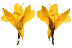 Pressed and Dried yellow flower  lily Isolated on white backgrou Royalty Free Stock Image