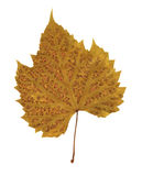 Pressed dry leaf Royalty Free Stock Image