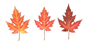 Pressed dry maple  leafs Stock Photo