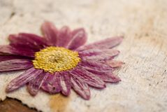 Pressed flower Royalty Free Stock Photography