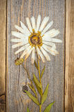 Pressed flower with white petals, herbarium Royalty Free Stock Photo