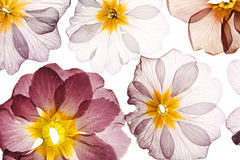 Pressed flowers Stock Images