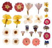 Pressed flowers. Isolated on white background stock image