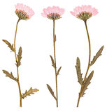 Pressed flowers, isolated Stock Photos
