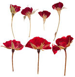 Pressed flowers roses isolated Royalty Free Stock Photos