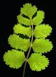Pressed leaf Stock Photo