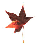 Pressed maple leaf Royalty Free Stock Image