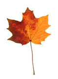 Pressed maple leaf Stock Photography