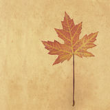 Pressed Maple leaf on paper Royalty Free Stock Photos