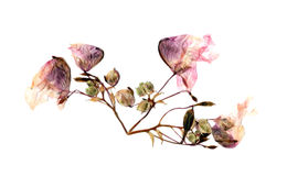 Pressed multicolor Aquilegia with extruded dried lily petals,  p Stock Photography