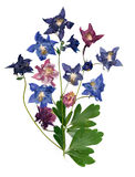 Pressed multicolor Aquilegia with extruded dried lily petals,  p Stock Images