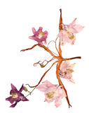 Pressed multicolor Aquilegia with extruded dried lily petals,  p Stock Photo
