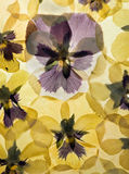 Pressed Pansy background Royalty Free Stock Image