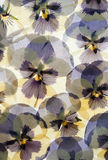 Pressed Pansy flower background. Background of pressed dried yellow and purple pansy flowers Royalty Free Stock Image