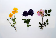 Pressed pansy flowers Stock Images