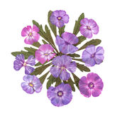 Pressed  phlox applique. Pressed bright pink flowers phlox applique Royalty Free Stock Images