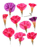 Pressed pink flowers bindweed. Set perspective Stock Photography