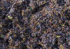 Pressed Pinot Noir Grapes in France. Pressed Pinot Noir Grapes after they have been pressed in a wine press in the Champagne area, France Stock Photo