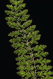 Pressed plant Stock Photo