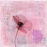 Pressed poppy flower. On abstract textured art background Royalty Free Stock Image