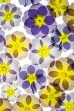 Pressed primroses. Blue and yellow pressed primroses on white background Royalty Free Stock Images