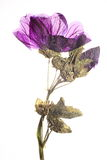 Pressed purple malva. Dry pressed purple malva on stem with leaves Royalty Free Stock Photos