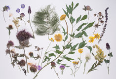 Pressed summer plants Royalty Free Stock Photography