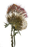 Pressed thistle Royalty Free Stock Photography