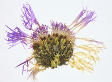Pressed thistle flower Royalty Free Stock Image