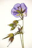 Pressed violet flower. A pressed violet flower with translucent petals royalty free stock photography