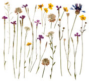 Pressed wild flowers Stock Photo