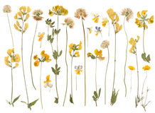 Pressed wild flowers. Isolated on white background royalty free stock photography