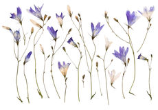 Pressed wild flowers Stock Photos