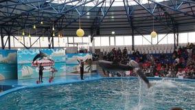 Prestazione con i delfini preparati stock footage