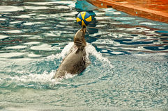 Prestazione del leone marino Immagini Stock Libere da Diritti