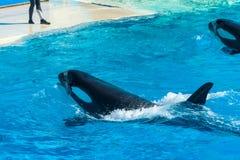 Prestazione dell'orca fotografie stock