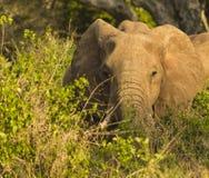 Preste el elefante en el parque nacional Kenia la África del Este de Tsavo Imagen de archivo libre de regalías