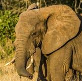Preste el elefante en el parque nacional Kenia la África del Este de Tsavo en el parque nacional Kenia la África del Este de Tsav Fotografía de archivo libre de regalías