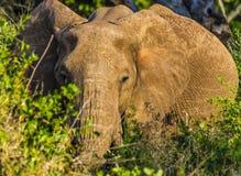 Preste el elefante en el parque nacional Kenia la África del Este de Tsavo en el parque nacional Kenia la África del Este de Tsav Imágenes de archivo libres de regalías