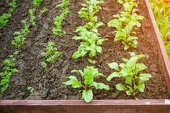 Presto piantando di estate, giardino urbano rispettoso dell'ambiente su un'alta cresta per migliore scaldarsi della terra Fotografia Stock Libera da Diritti