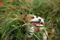 Pret Jack Russell Terrier In Wheat Reis met een huisdier Hond in aard royalty-vrije stock afbeelding