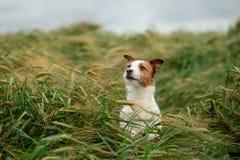 Pret Jack Russell Terrier In Wheat Reis met een huisdier Hond in aard royalty-vrije stock fotografie