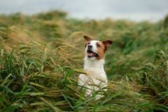 Pret Jack Russell Terrier In Wheat Reis met een huisdier Hond in aard royalty-vrije stock foto's