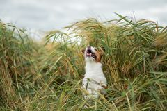 Pret Jack Russell Terrier In Wheat Reis met een huisdier Hond in aard stock foto