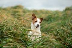 Pret Jack Russell Terrier In Wheat Reis met een huisdier Hond in aard stock fotografie