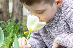 A preteen caucasian boy smelling white tulip flower in the spring garden stock photo