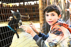 Preteen  handsome boy touch goat in the zoo Royalty Free Stock Photos