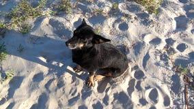 Pretinho. Cachorro poderoso carinho calmo Stock Photos