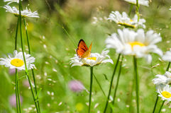 Preto alaranjado borboleta manchada na camomila Foto de Stock
