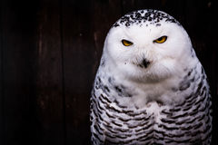 Preto branco Owl Eyes Yellow Stare Beak manchado foto de stock